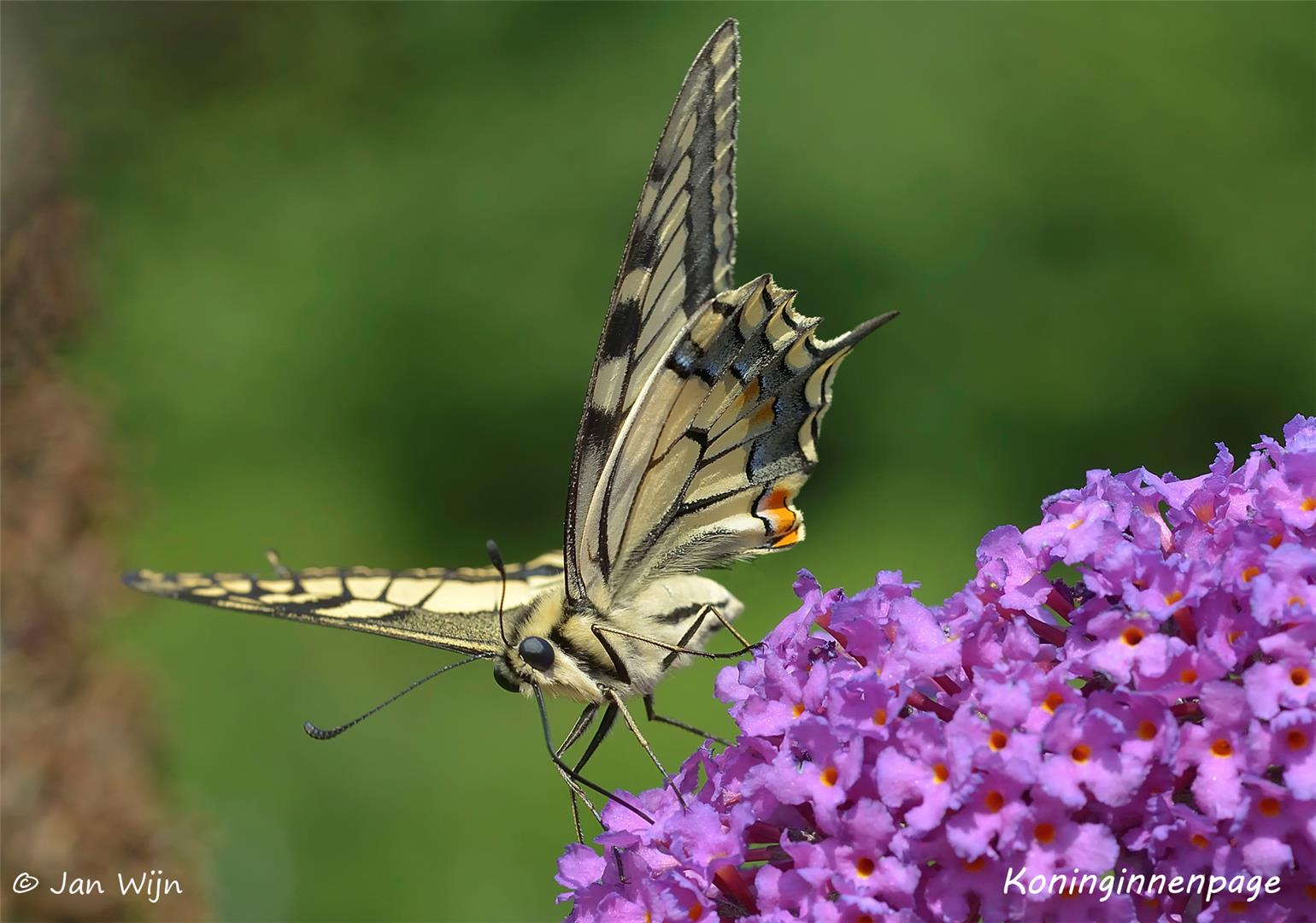 koninginnenpage (Papilio machaon).jpg